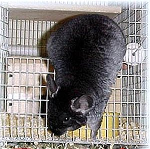 Catching a Chinchilla - Standard TOV (Black Velvet) escaping from her cage. © Jo Ann McCraw.