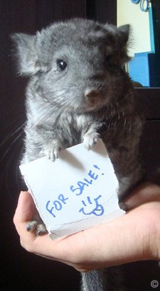 Buying a Chinchilla - A young Hetero Ebony (Violet Carrier) chinchilla for sale. � Christopher Eroy.