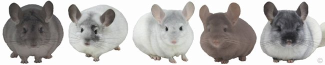 Chinchilla Group - Silver female, White Mosaic female, Sapphire & White Mosaic female, Tan female, TOV White female. � chinchillas.com