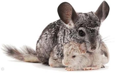Chinchilla Birth - Standard Grey mother after giving birth to her two kits - one Standard Grey and the other Heterozygous Beige. ©