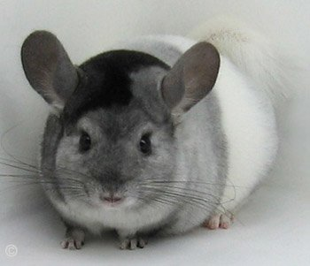 Chinchilla Colour Mutation - Unique Tri-Colour White Mosaic. � chinchillas.com