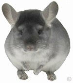 Chinchilla Health - TOV Sapphire female in great health. � chinchillas.com