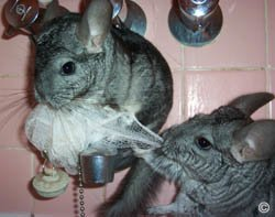 Two mischievious chinchillas let loose in a bathroom and arguing over a body scrub. ©