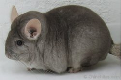Chinchilla Genetics - Beige/Ebony Carrier. © chinchillas.com