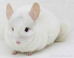 Chinchilla Genetics - (Co-Dominant Gene) Pink White. © chinchillas.com