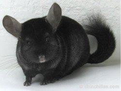 Chinchilla Genetics - Weakly Dominant Gene - Ebony Male. © chinchillas.com