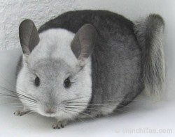 Chinchilla Genetics - Incomplete Dominant Gene - White Mosiac. © chinchillas.com