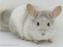 Chinchilla Genetics - Incomplete Dominant Gene - Beige/White Mosiac. © chinchillas.com