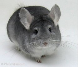 Chinchilla Genetics - Recessive Gene - Sapphire Female. © chinchillas.com