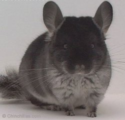Chinchilla Genetics - Standard TOV - Black Velvet - Gunning Black. © chinchillas.com