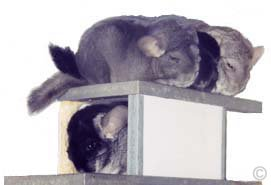 Chinchilla Group. ©