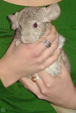 Holding a Chinchilla - A Heterozygous Beige chinchilla being securely held by its owner. © Lawley.