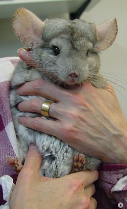 Holding a Chinchilla - An owner securely holding a chinchilla. © Dr. Marty Hull.