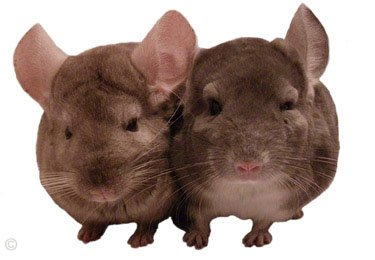 Introducing Chinchillas - Pastel Tan female and Violet male. © Mariel.