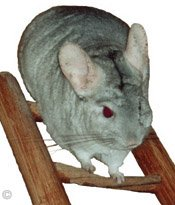 Chinchilla Toys - Heterozygous Beige chinchilla resting at the top of his ladder. � Chinchilla Chronicles.