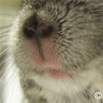 Chinchilla Examination - The nose and mouth area should be dry with no missing fur. ©