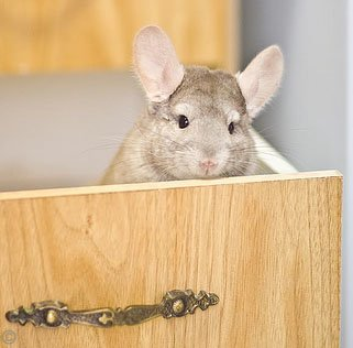 Chinchilla Exercise - Exercise is paramount to a chinchilla's health and well-being.  Here a cheeky chinchilla is hiding in a set of drawers. © Justin Qian.