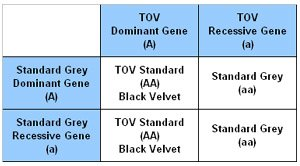 Punnet Square showing the outcome of a Standard TOV and Standard Grey.