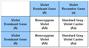 Punnet Square showing the results of breeding a Violet Carrier with a Homozygous Violet chinchilla.