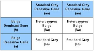 Punnet Square showing the results of breeding a Standard Grey chinchilla to a Heterozygous Beige chinchilla.