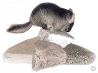 Chinchilla Toys - Black Velvet female chinchilla exploring some rocks. © Chinchilla Chronicles.
