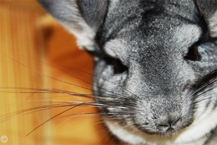 Standard Grey Chinchilla. © Kofoed.