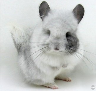 Unique White Mosaic Royal Persian Angora - Female. © chinchillas.com