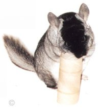 Chinchilla Toys - Standard TOV having a good old chew on a cardboard toilet roll. © Chinchilla Chronicles.