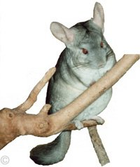 Chinchilla Toys - Heterozygous Beige male chinchilla on a branch of an apple tree. © Chinchilla Chronicles.