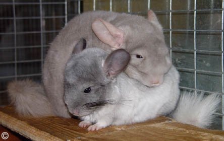 Weaning a Chinchilla - Beige and White Mosaic chins having a cuddle. � Dr. Marty Hull.