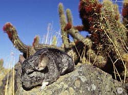 Chinchilla Habitat - A wild chinchilla shown in it's native habitat of The Andes Mountain Range. � Roland Seitre.