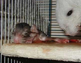 Chinchilla Birth - It is important that new born kits are dried shortly after birth to prevent hypothermia and death.  Andreas Perlitz.