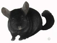 Chinchillas For Sale - Homozygous Ebony male.  chinchillas.com