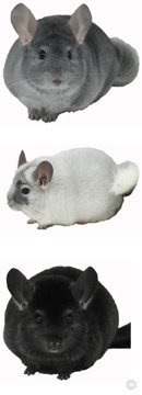 Chinchilla Group - Sapphire male, White Mosaic female, Ebony female.  chinchillas.com