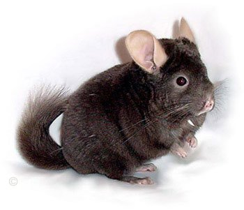 Dark Tan male chinchilla