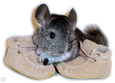 A Standard Grey chinchilla kit.