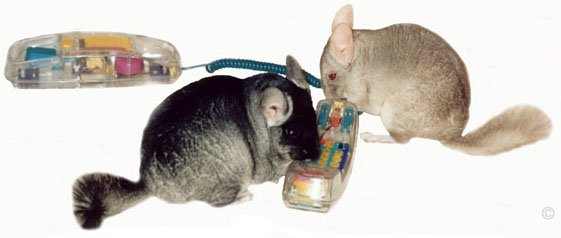Heterozygous Beige male chinchilla chatting on the telephone with his mate, a female Black Velvet.  Chinchilla Chronicles.