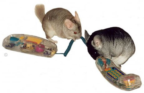 Two cheeky chinchillas gnawing the wires on a telephone.  Chinchilla Chronicles.