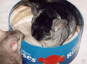 Shedding and Grooming - Chinchillas living in pairs encourage one another to groom. You will find when one is having a bath, the other is waiting to jump in for its turn.  Chinchilla Chronicles.