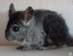 Sickness, Illness and Disease - This chinchilla was attacked by siblings and started to chew its own fur due to stress.  Audie Vaughn.