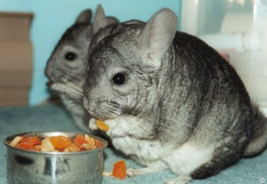 Chinchilla Nutrition (Food and Diet) - Two Standard Grey chinchillas munching on some dried pineapple and papaya chunks.  Danica Jackson.