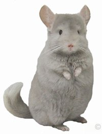 Posture and Behavior - Female Tan Violet Hybrid standing erect and looking inquisitve.  chinchillas.com