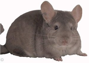 Posture and Behavior - Heterozygous Beige male relaxing.  chinchillas.com