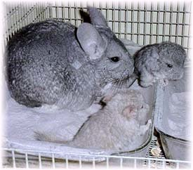 Pre and Post Natal Care: Two baby chinchillas experiencing their first dust bath under mum's guidance.