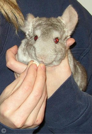 Taming a Chinchilla - A Heterozygous Beige chinchilla completely comfortable sitting it his owners hands and enjoying his birthday treat.  Jo Ann McGraw.